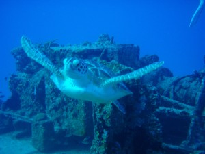 Turtle and ship wreck
