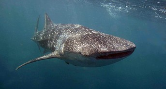 Be inspired by International Whale Shark Day with Regaldive