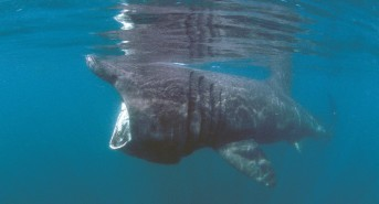 Basking sharks star in Discovery Day Cornwall Wildlife Trust