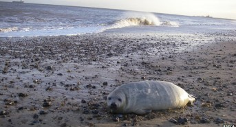 UK seals 'fared better than feared' in storm surge