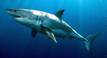 Great White Sharks Making A Comeback In US Waters