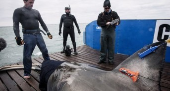 Tagged Great White Shark Heading For The UK