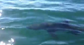 Is This A Great White Shark Off The Coast Of Cornwall?