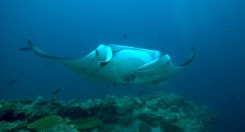 Emperor Divers Maldives launch two new itineraries for manta, whaleshark, wrecks and reefs