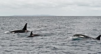 Cage Divers Witness Pack Of Orcas Kill Great White Shark