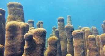 Rare Caribbean coral grown in lab for the first time