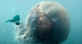 Giant Jellyfish caught on film by scuba divers