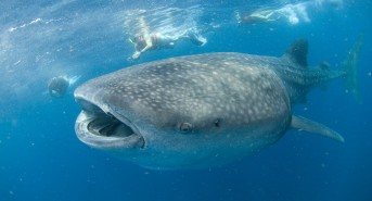 Whale Shark Encounters Guaranteed With Pro Dive Mexico