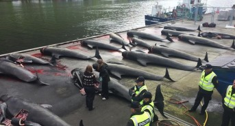 22 pilot whales dead at the hands of vicious thugs