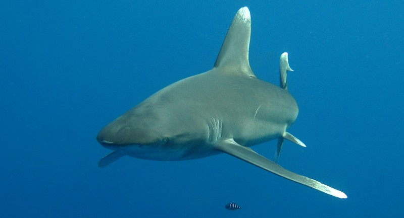 Oonasdivers Announce New Red Sea Shark Workshop