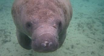 Divers report rare Manatee sighting in Playa del Carmen (watch video)