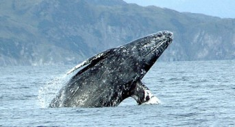 Protect Whales from Slaughter off the Washington Coast