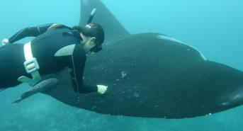 Marine Megafauna Foundation: Science with a Toothbrush
