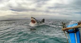 Sharks, sharks, and more sharks