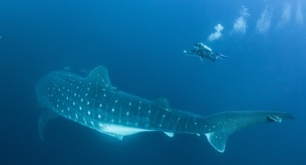International Team of Scientists Seek to Uncover the Mysteries of the World's Whale Sharks by Tracking their Movements