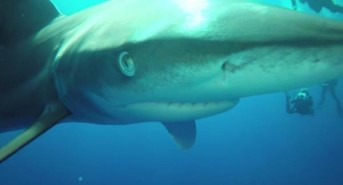 Oceanic-white-tip-shark-goes-nose-to-nose-with-diving-instructor-1.jpg