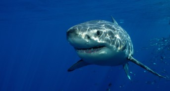 Book a Great White Shark Dive Adventure in Mexico with Dive Worldwide
