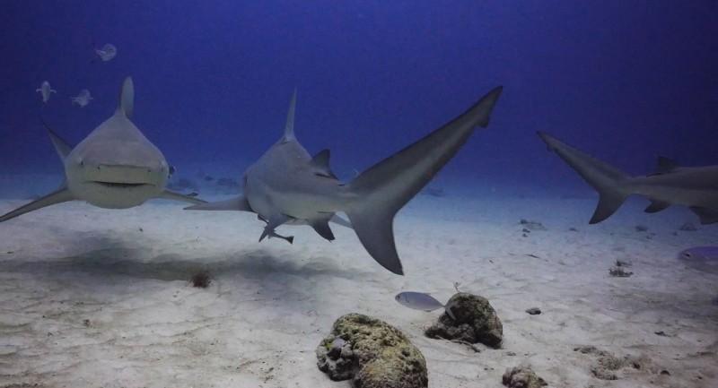 Pro Dive Mexico designs PADI Bull Shark Diving in Playa del Carmen Distinctive Specialty