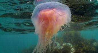 blue-jellyfish-A-Pearson-e1469745282820.jpg