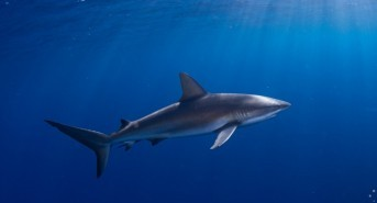 Northwest Atlantic Fishing Countries Take Action for Sharks