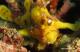 Kissing Frogfish