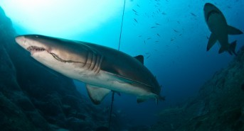 What impact does catch and release fishing have on sharks?