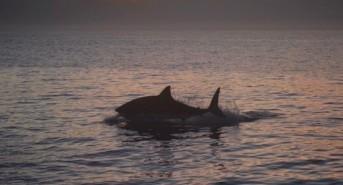 Summing up the surprises of the 2016 white shark season, Seal Island, False Bay