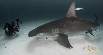 Photographing the Hammerhead Sharks of Bimini, Bahamas (Watch Video)