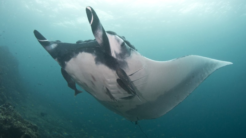 Giant manta rays found to be predators of the deep ocean