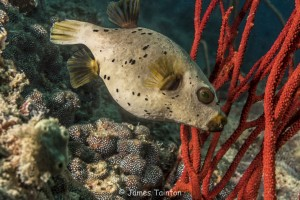 a seal faced puffer fish