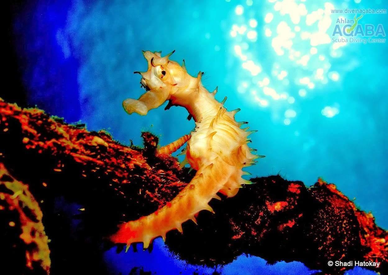 the seahorse of aqaba
