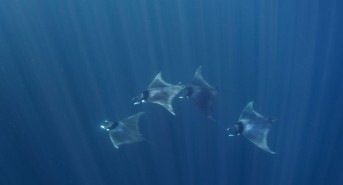 Mobula-japanica-Bohol-Sea-Copyright-Gonzalo-Araujo-LAMAVE-small.jpg