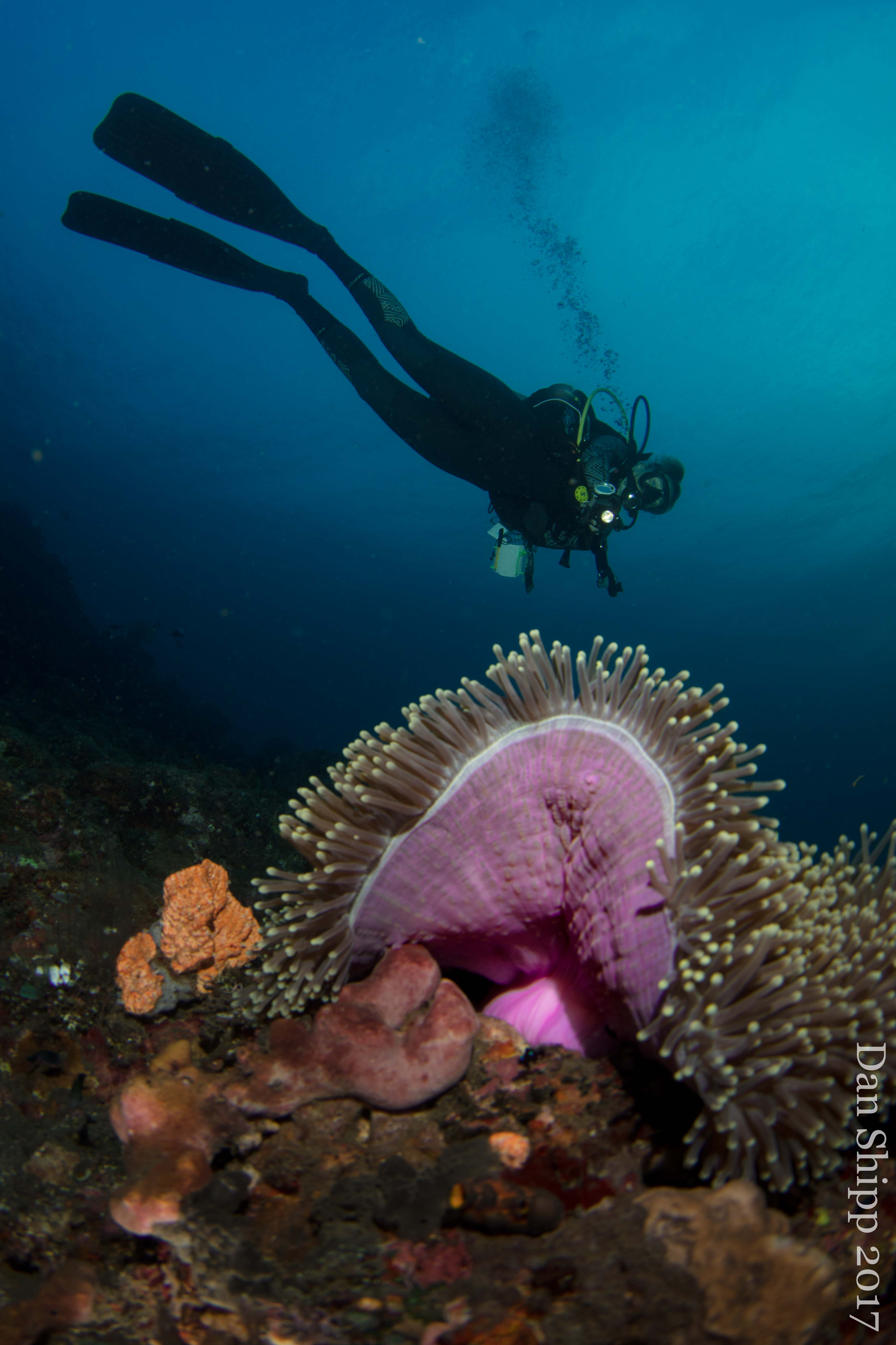 diver with anemone