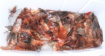 Stuart Cove's Dive Bahamas Presents Series of Lionfish Derbies