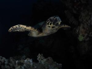 cruising turtle