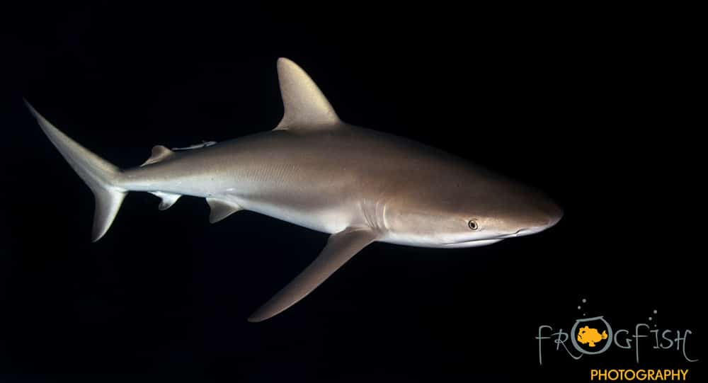 Sharks move to deeper water as they mature