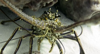 15-vb-lobster1.jpg
