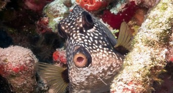 17-cp-smooth-trunkfish-awesome.jpg