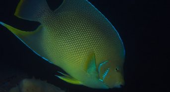 2018-fl-bhb-P5083876a-Blue-Angelfish.jpg