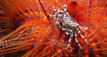 2019-lembeh-PB020074a-Zebra-Urchin-Crab-Zebrida-adamsii-on-Fire-Urchin-Astropyga-radiata.jpg