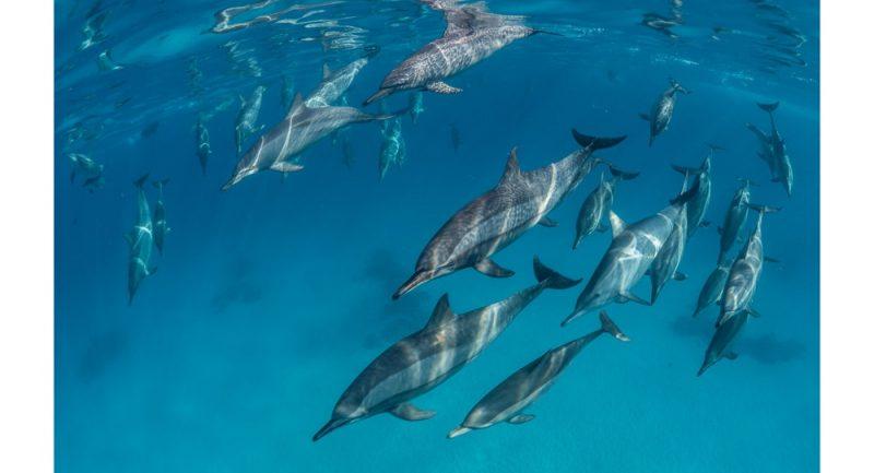 Dolphins_Sataya_High_Res.jpg