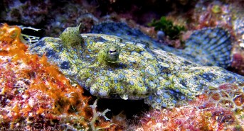 Flounder-Fish-Roatan-Honduras-10.02.141.jpg