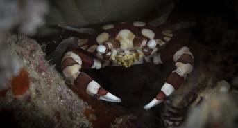 Harlequin-swimming-crab-Lissocarcinus-laevis_2.jpg