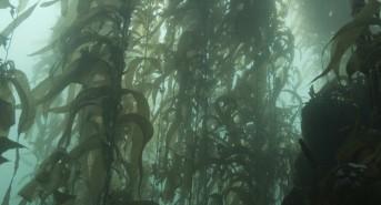 Kelp-photo.jpg