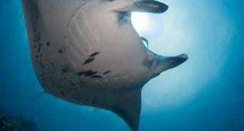 Maldives_Underwater_Photographer_OTY_MantaCleaning-1.jpg