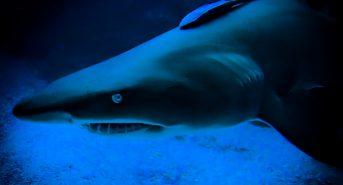 Shark-Blue-comp.jpg