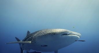Whale-Shark-Katy-Laveck-Foster.jpg