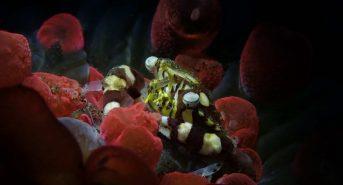 crabe-arlequin-snoot-scaled.jpg