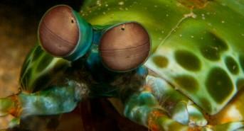 mantis-shrimp-5611-.jpg